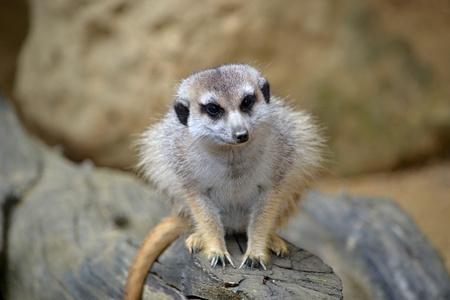 cocaine: Meerkat sits and looks ahead at ine meerkats.
