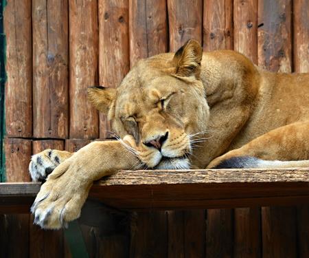 heats: Sleeping lioness lying on the sun and the Heats Stock Photo