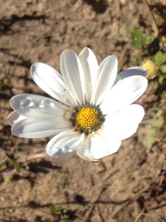 white: White daisy