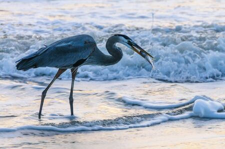 Early morning shot of a Blue Heron at Cocoa Beach, catching a Fish Stock Photo