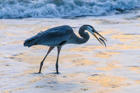 魚を捕るココア ビーチでブルー ヘロンの早朝撮影 写真素材