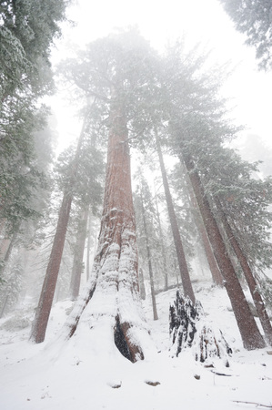 Impression of the Giant Sequoias covered in Sequoia and Kings Canyon National Park, California, USA. Stock Photo