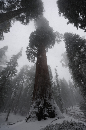 kings canyon national park: Impression of the Giant Sequoias covered in Sequoia and Kings Canyon National Park, California, USA. Stock Photo