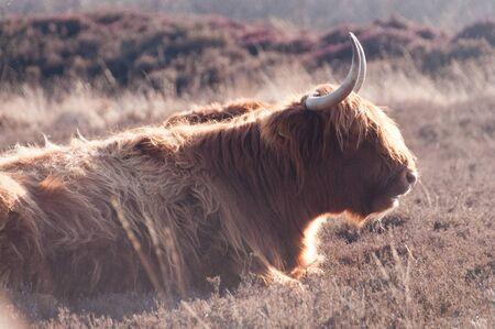 highlander: Highland Cattle Grazing en la provincia de Drente, los Países Bajos Foto de archivo