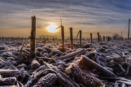 snowy field: Image of corn stubbles on a frosty winter morning