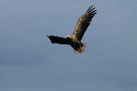 whitetailed: Close-up of a sea eagle in full flight: Lofoten, Norway.
