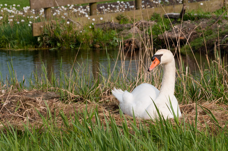 brooding: A swan breeding on a nest in the country side of North Holland, the Netherlands
