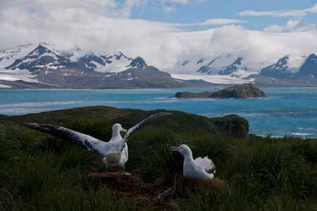 grooming: The largest bird of the southern ocean, the magnificent giant wandering albatross nests at south Georgia. The oftentimes form dedicated couples. Here one is raising its wings. Stock Photo