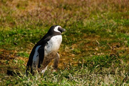 Magellanic Penguin at Carcass Island, The Falkslands