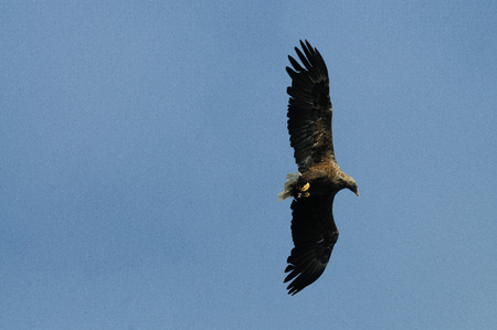 Close-up of a sea eagle in full flight. Imagens - 80843237