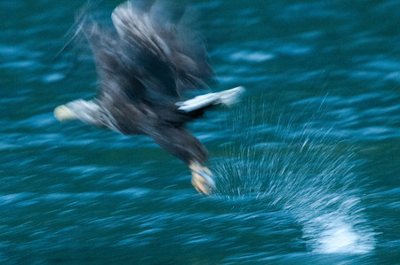 Image of a Sea Eagle catching a fish on the Lofoten, around midnight