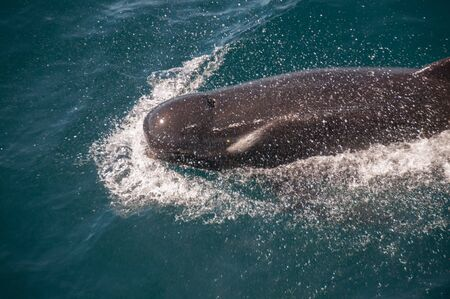Encounter with long-finned pilot whales, enroute between the Ushuaia and the Falkland Islands. Stock Photo