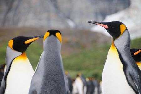 flightless: Gold harbour, South Georgia is home to a large population of King Penguins.