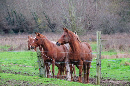 A group of Horses in East-Flanders, Belgium, behind a barbed wire fence. Stock Photo