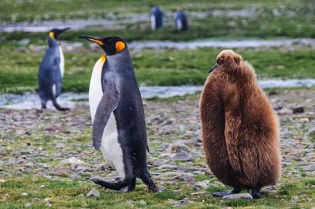 penguins on beach: Family of king penguin Stock Photo