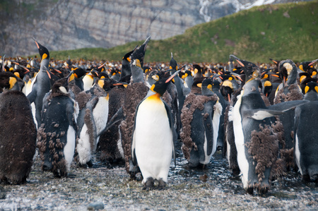 penguins on beach: Large population of King Penguins. Stock Photo