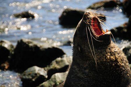 A Fur seal at beach showing its teeth
