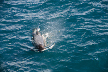 pilot light: Encounter with long-finned pilot whales, enroute between the Ushuaia and the Falkland Islands. Stock Photo