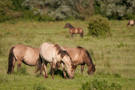 feral: Konik Horses grazing in the Dutch nature reserve Oostvaardersplassen.
