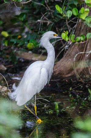 Heron blanco pastando en los pantanos de la Florida Foto de archivo - 81517214