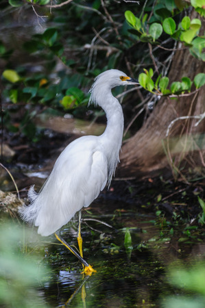 White Heron Grazing in the Florida Swamps