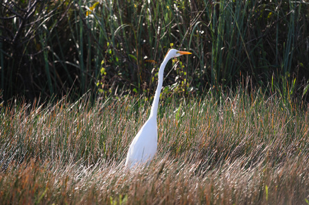 ardea: White Heron Grazing in the Florida Swamps