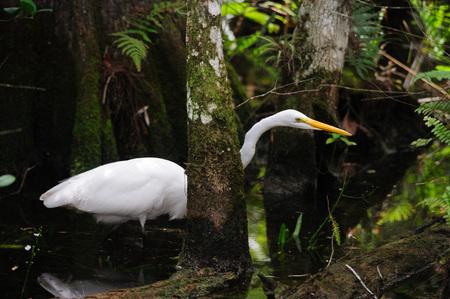 Heron blanco pastando en los pantanos de la Florida Foto de archivo - 81224582