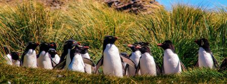 indecisive: Indecisive Rock Hopper Penguins on the Penguin Highway at Westpoint Island. Stock Photo