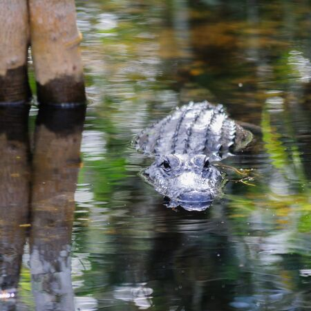 Alligator in the Swamps of the Florida Everglades Stock Photo