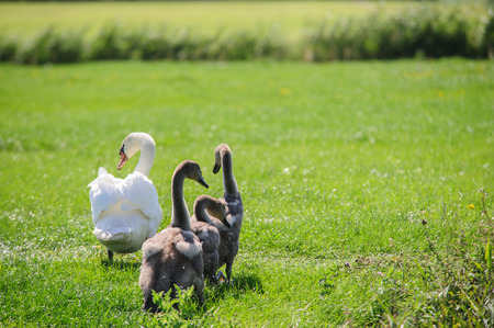 ugly duckling: Impression of a Swan with a large number of Chicks Swimming in Friesland, the Netherlands