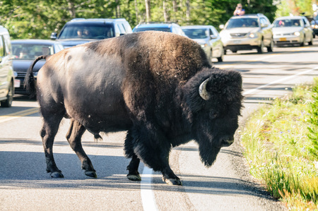 A Bison slowly crossing the road in Yellowstone National Park, Wyoming, USA 版權商用圖片 - 85500544