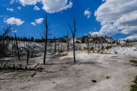 Trees in the Mammoth Hot Springs area, Yellowstone National park