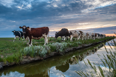 cattle grid: Cattle of cows walking a along a water-filled trench on the frysian mud flats known as it Noarderleech during sunset.