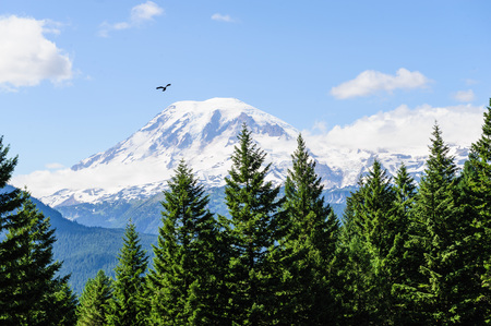 A single bird flying in front of Mount Rainier, which is peaking through the clouds and the surrounding forest. Stock Photo - 87069165