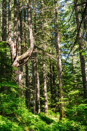 Forest scene near the Box Canyon Area in Mount Rainier National Park