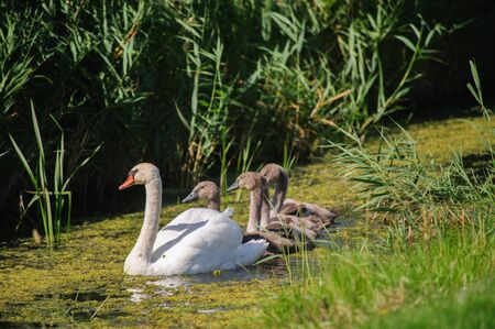 head protection: Impression of a Swan with a large number of Chicks Swimming in Friesland, the Netherlands