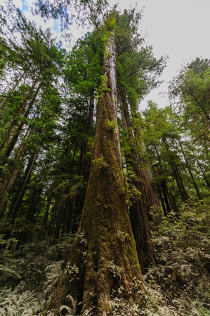 impression: Impression of the Giant Redwoods in the Redwood National Forest along the Northern California Coast