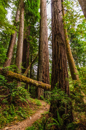nevada: Impression of the Giant Redwoods in the Redwood National Forest along the Northern California Coast
