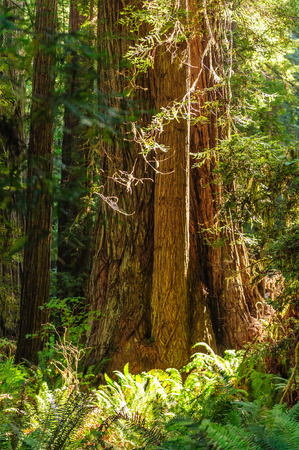sequoia: Impression of the Giant Redwoods in the Redwood National Forest along the Northern California Coast