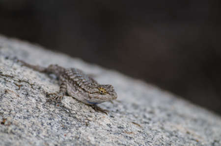 A Common Side Blotched Lizard in the Mojave Desert. Joshua Tree National Park
