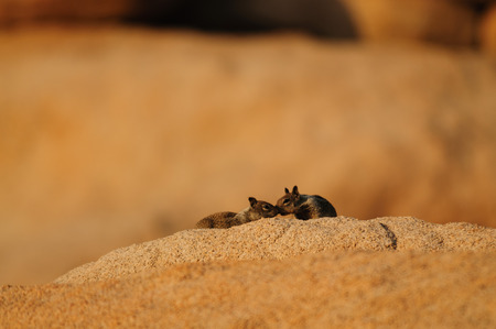 Two white-Tailed Antelope Squirrel,Ammospermophilus leucurus, sitting on a rock during the Golden Hour in Joshua Tree National Park