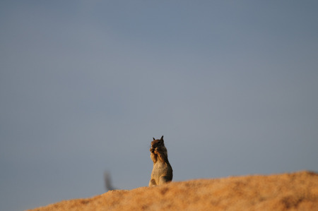 lactante: A white-Tailed Antelope Squirrel,Ammospermophilus leucurus, sitting on a rock during the Golden Hour in Joshua Tree National Park