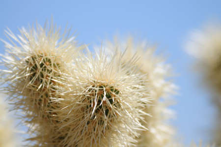 cholla: Cholla Cacti in Joshua Tree National Park Stock Photo