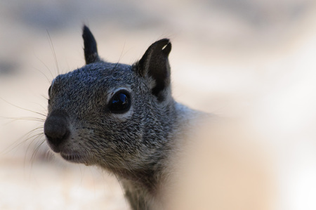 lactante: Close-up of a White-tailed antilope Squirrel in Joshua Tree National Park