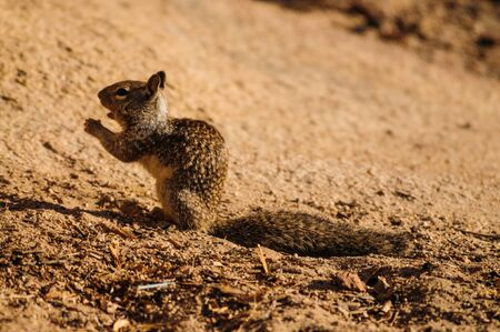 Close-up of a California Ground Squirrel in Joshua Tree National Park Stock Photo