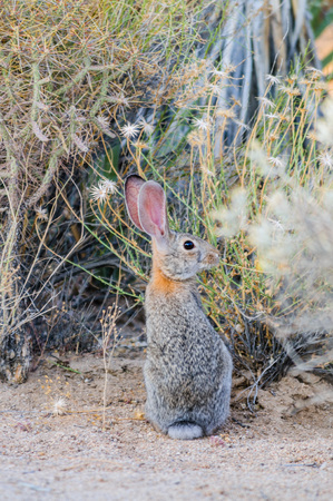 A Desert Cottontail Rabbit in Joshua Tree National Park during Golden Hour. Stock Photo