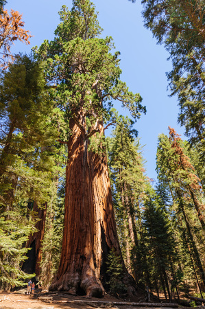 Two tourists being dwarfed by a giant sequoia Tree in the General Sherman grove in Sequoia National Park, California, USA.