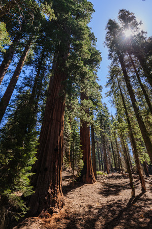 Impression of a giant sequoia Tree in the General Sherman grove in Sequoia National Park, California, USA. Stock Photo