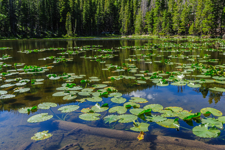 Water lillies in Nymph lake on a summers afternoon in Rocky Mountain National Park, Colorado.