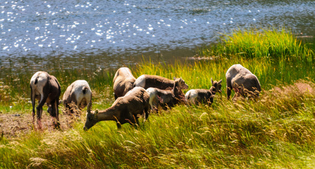 Big horn sheep grazing near the edge of a lake in Rocky Mountain National Park in Colorado.